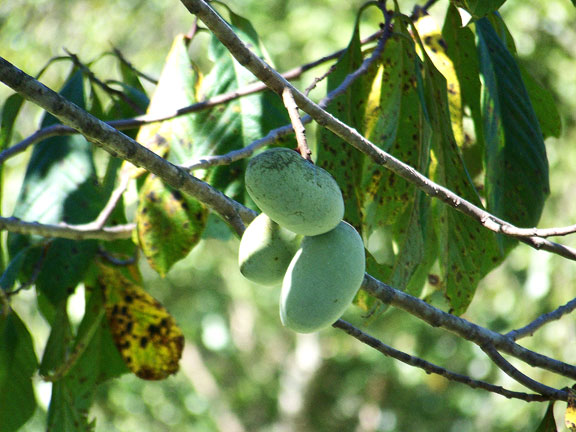 Paw Paws hanging on the tree fall fruit to be foraged