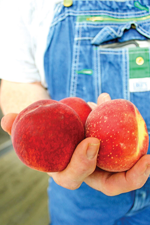 Charlie's hand holdin three ripe peaches against his denim bibb overalls