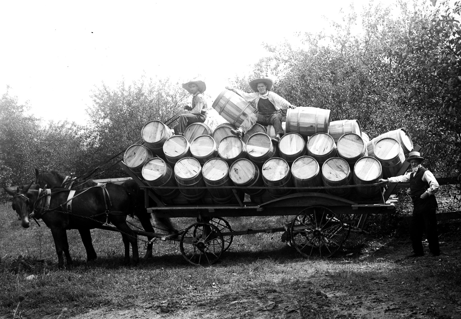 Wagon load of apple barrels in an Eastern KY orchard. Historic black and white photo.