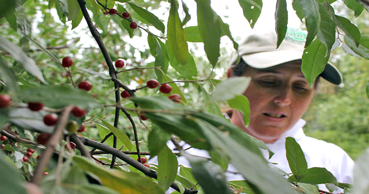Tammy Horn, Kentucky Department of Agriculture, picks autumn berries in Appalachia.