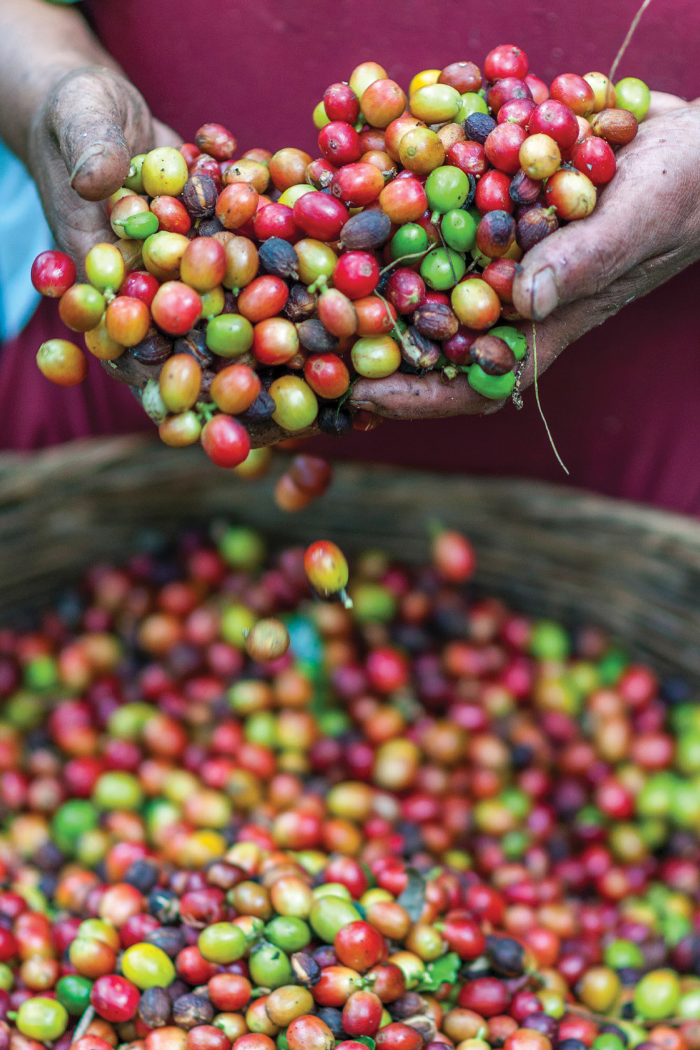 Farmers hands with fresh coffee beans in basket