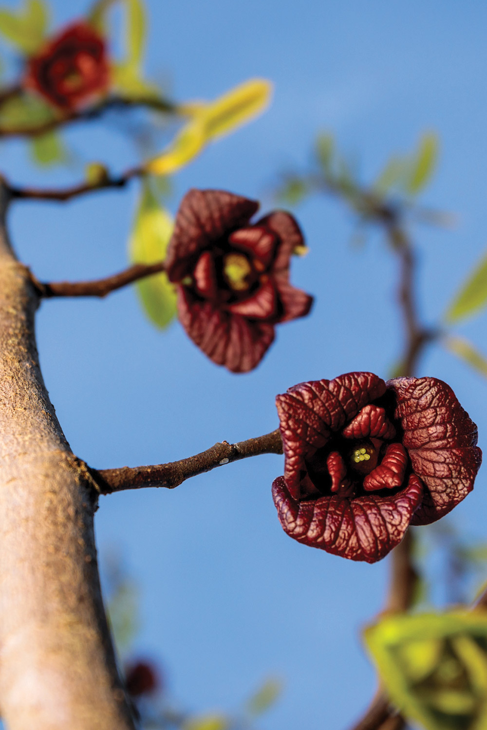 Pawpaw blooms are reddish mahogany in color
