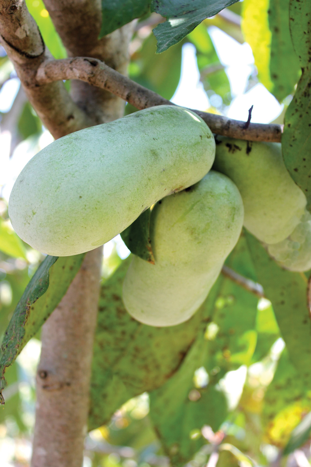 Cluster of pawpaws on the tree