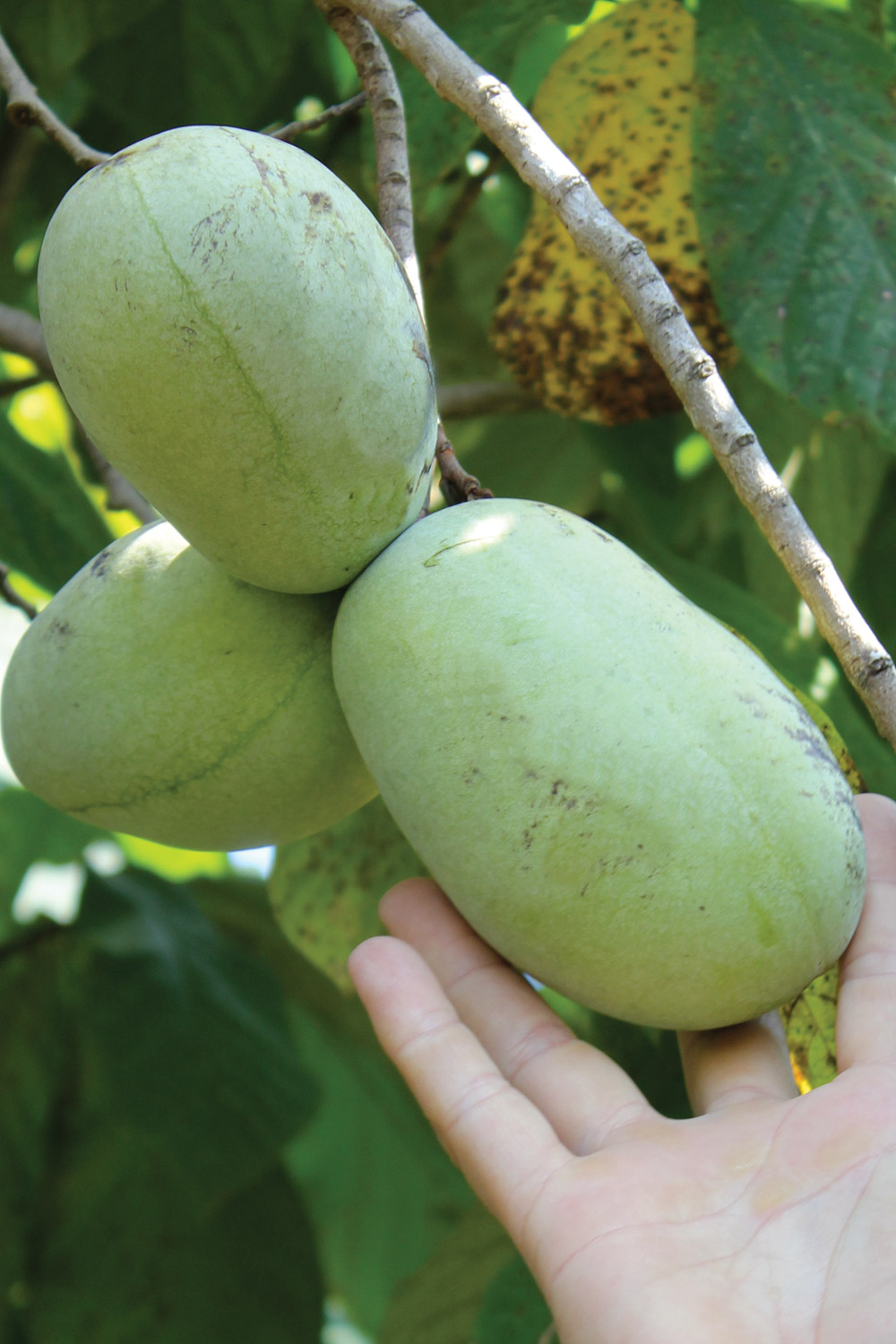 Picking pawpaws off the tree, minty green fruits that fit easily in your hand.