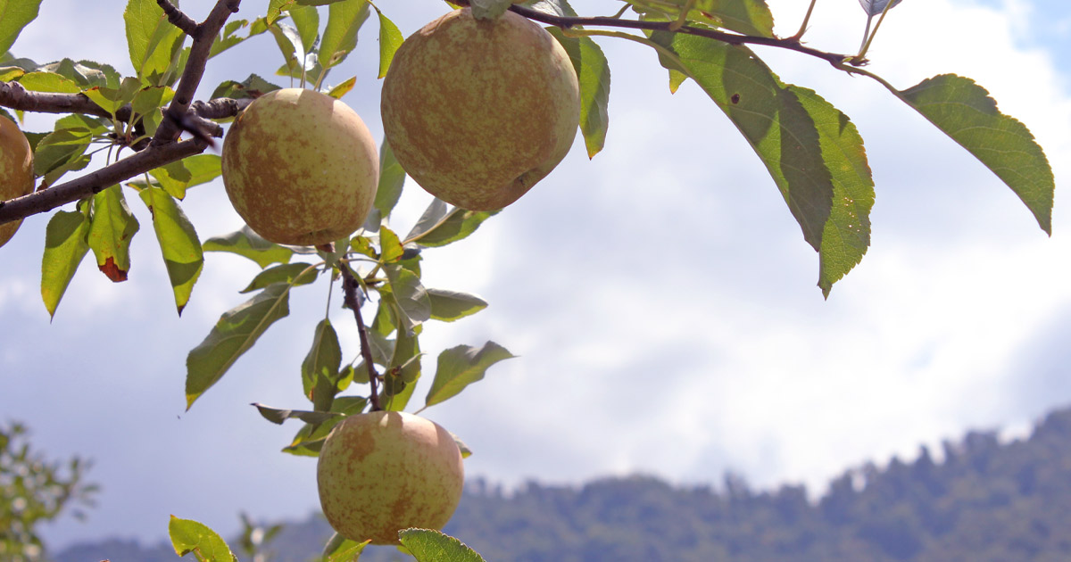 Choosing apples for apple butter - dangling on limb with Appalachian mountains in backgrouond