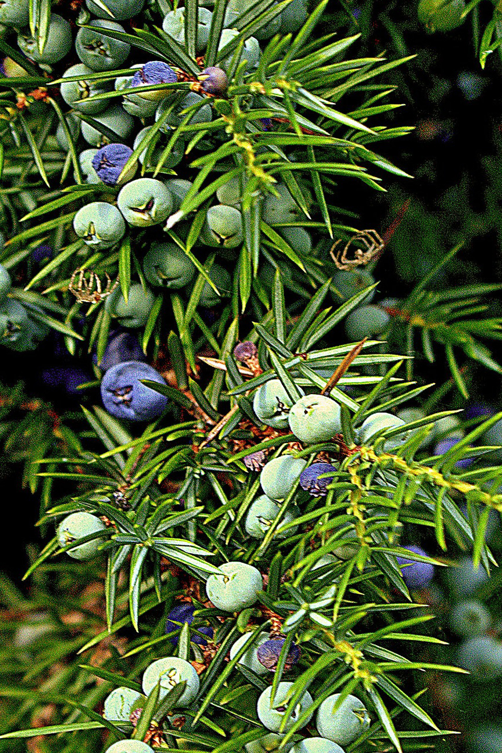 Juniper berries gives gin a foresty evergreen taste.