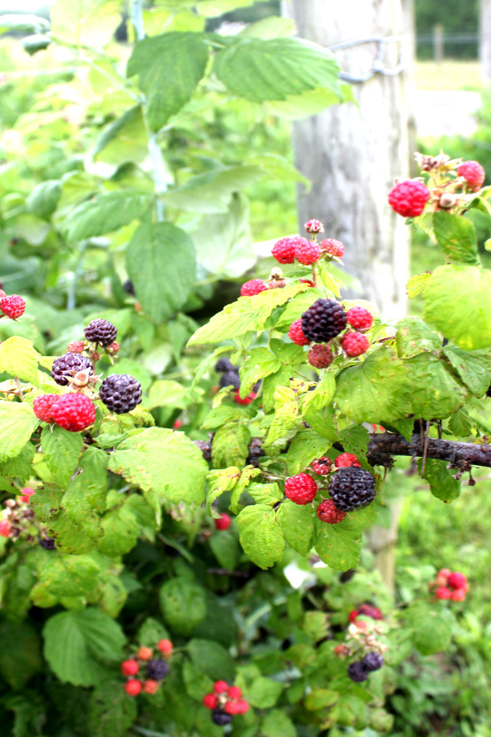 Bramble berries trellised and ready for harvest